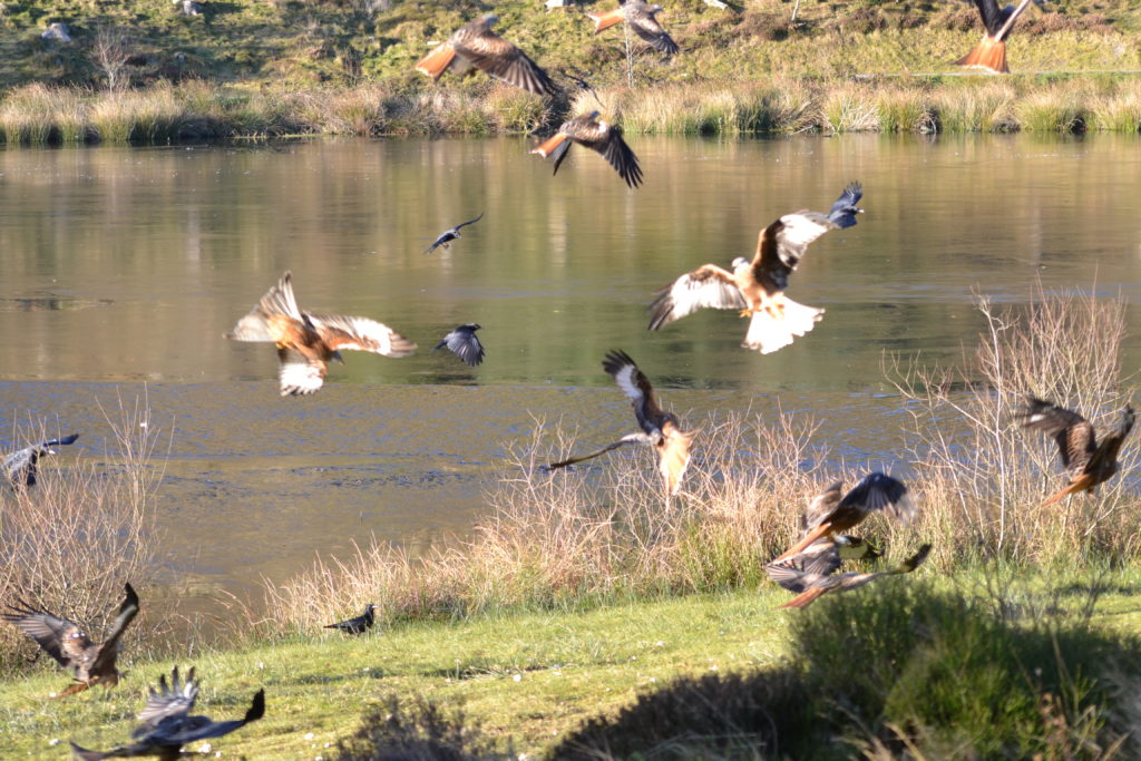 Red Kites swooping to take food at Bwlch Nant Yr Arian.