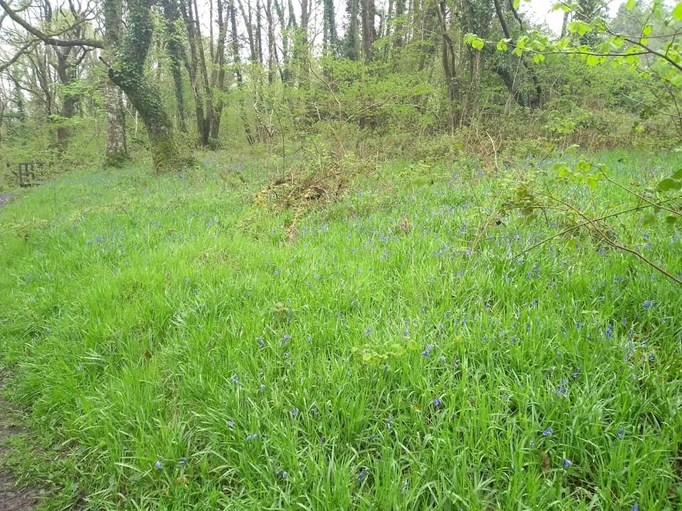 Bluebells near the Bryntail mine