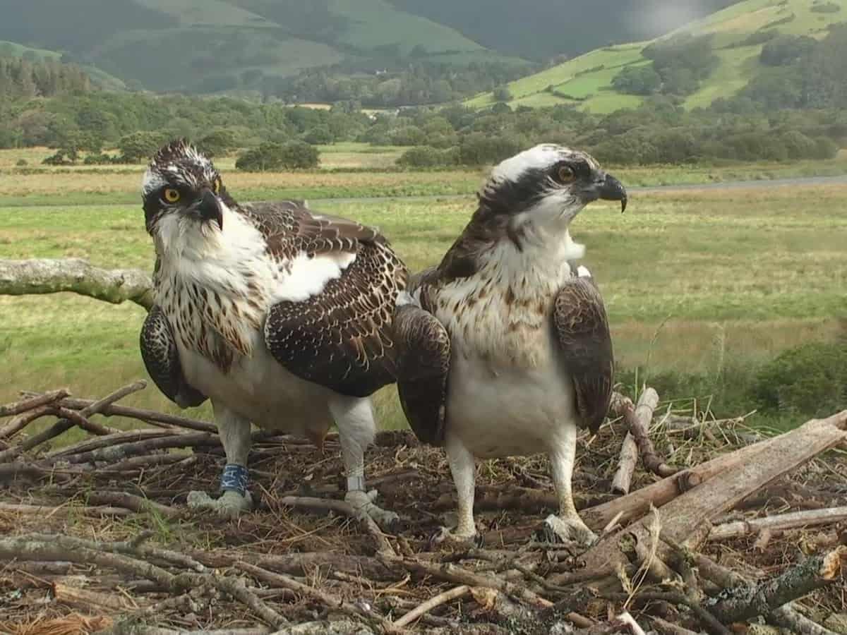 A pair of nesting ospreys
